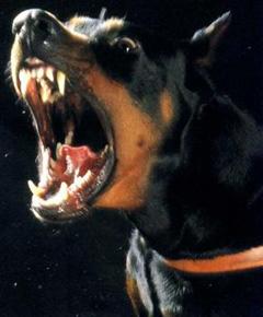 Doberman Red Zone Dog!