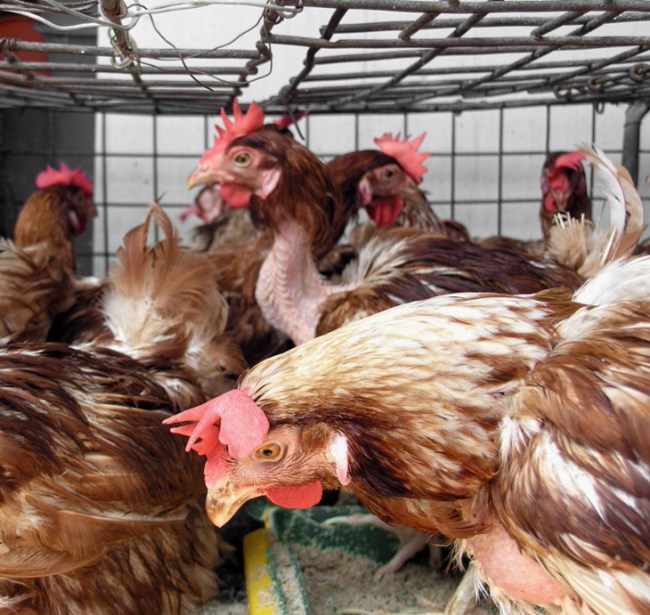 chickens-in-a-cage-at-the-market