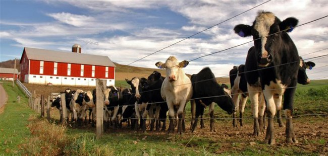 cows-outside-slaughter-house-farm