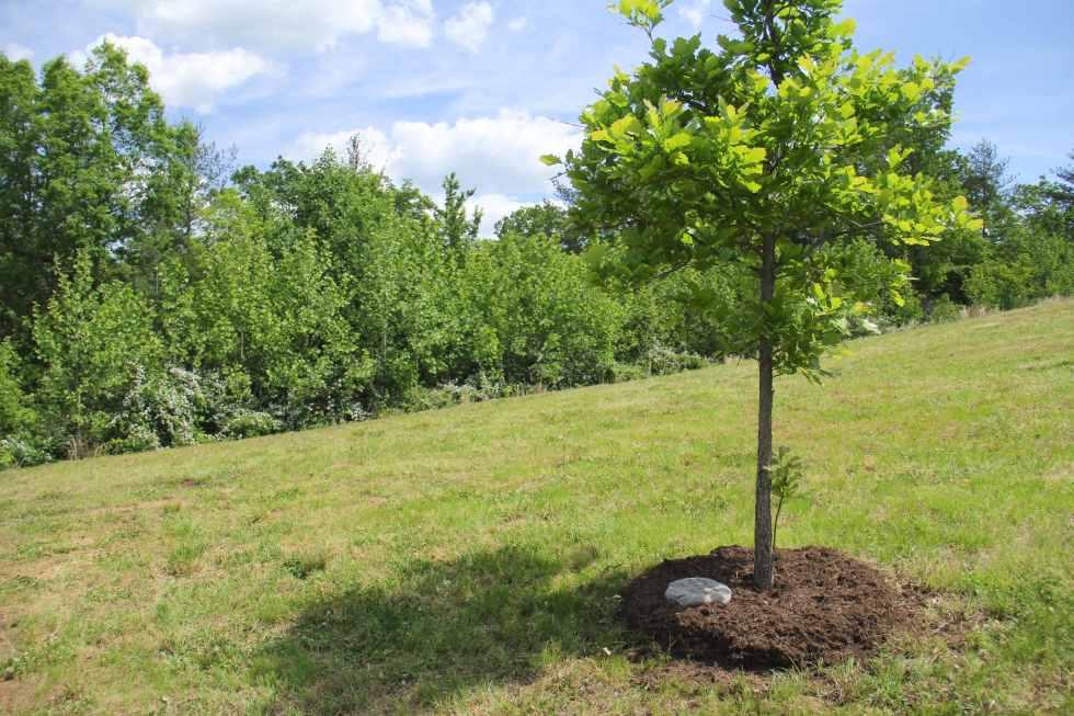 best memorial trees