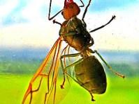 ant-infestation-flying-ant