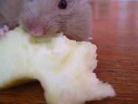 pest-control-nyc-mouse-3