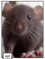 rat-infestation-rodents