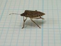 stink-bugs-3-reasons