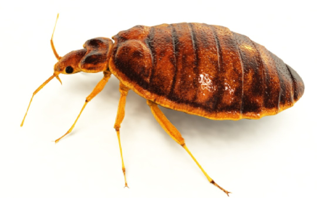 Bed Bug Detection: What Do They Look Like?