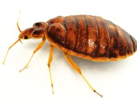 what-do-bed-bugs-look-like