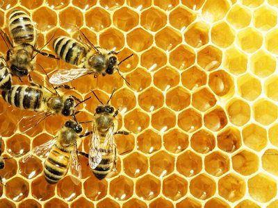 Do Nassau Bees like High Fructose Corn Syrup?