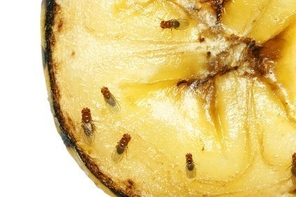 Where Did These Fruit Flies Come From?