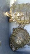 Western Pond turtles! Photo Credit: Shaunice Newton