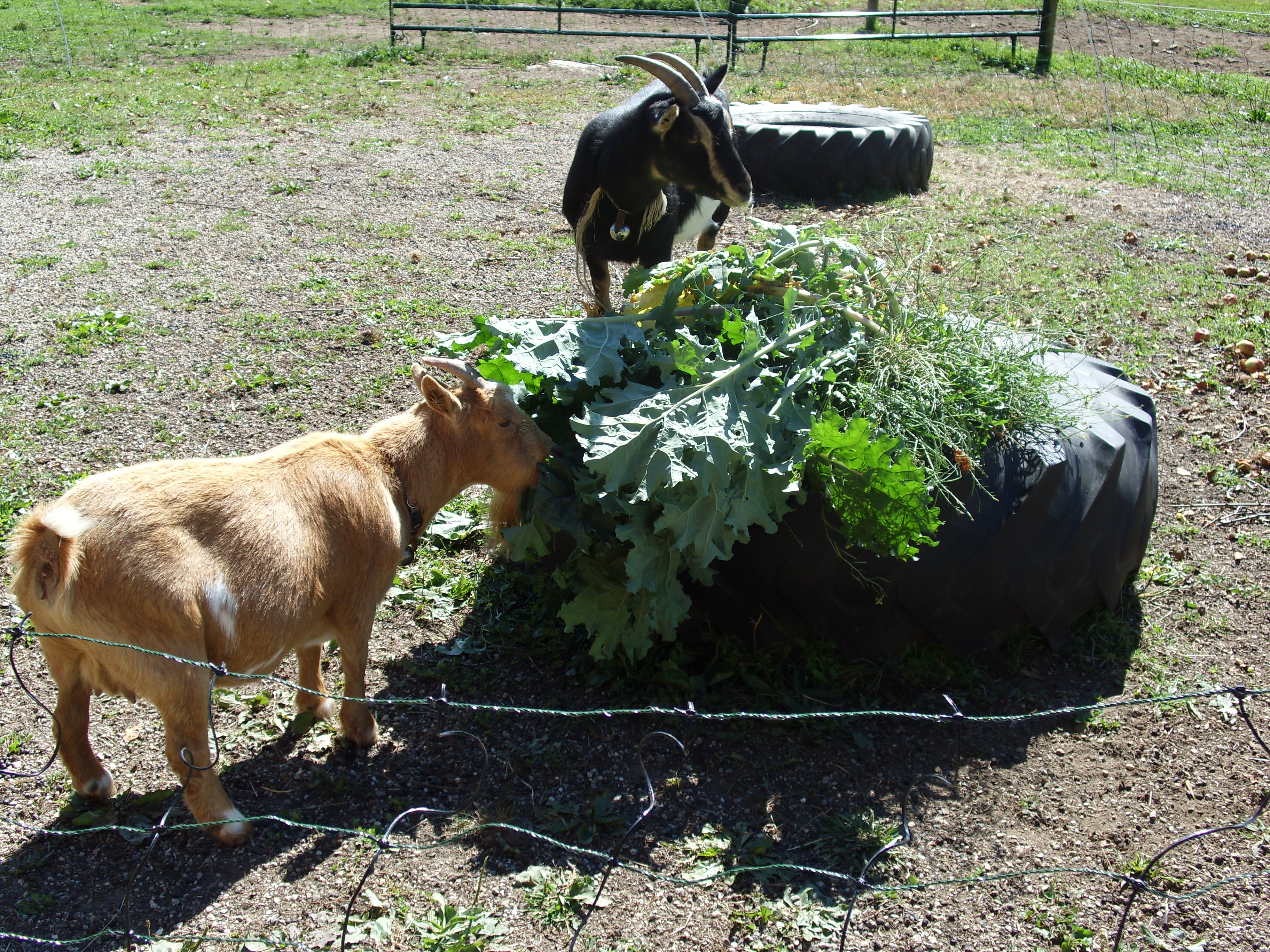Alice and Betty enjoying leftovers from the garden....lettuce, arugala and kale.  Kale is their favorite...good thing as its not mine!