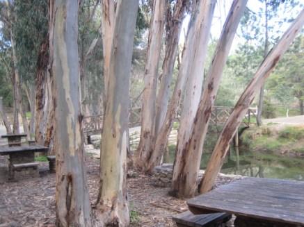 And awfully nice eucalyptus trees