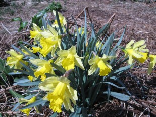 But the daffodils are the stars of the show