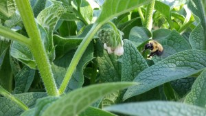 Bee Pollinator Toronto Ontario Home Landscaping Garden Permaculture Local Yard BIA Urban