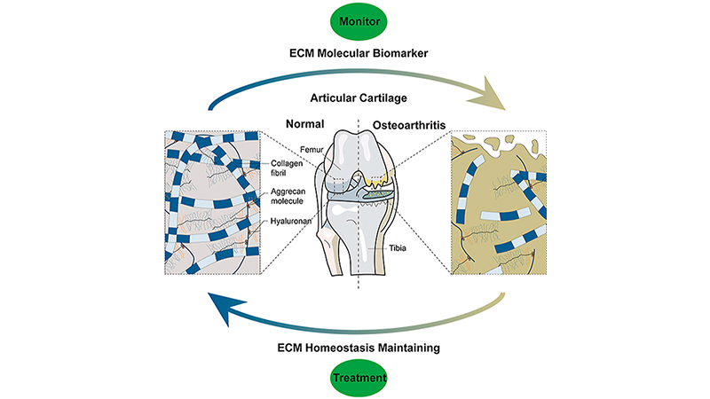 New Review: The Regulation of Cartilage Extracellular Matrix Homeostasis in Joint Cartilage Degeneration and Regeneration
