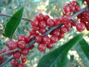 Autumn olive: one invasive shrub