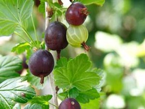 Ribes uva-crispa @Black Velvet@