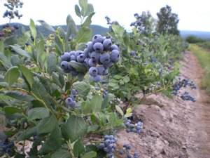 Bluejay Blueberry