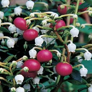 Chilean Wintergreen