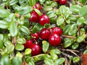 Cranberry (Pilgrim)