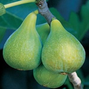 Desert King-Fig