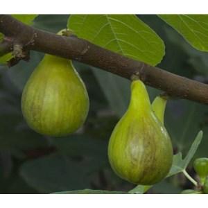 Fig Tree- Atreano