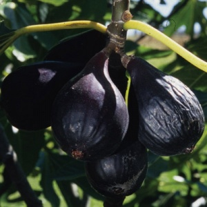 Fig Tree (Negronne)