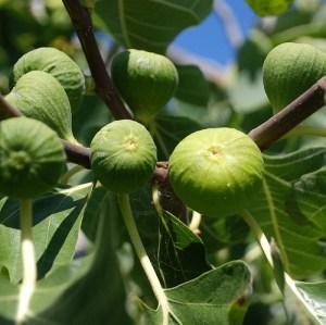 Fig Tree= Peter's Honey