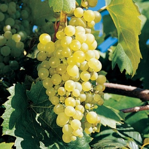 Grape vine- Sweet Seduction