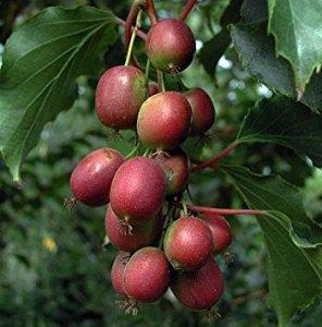 Kiwi (Kens Red)