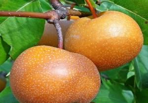Korean-Giant-Asian-Pears