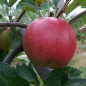 Melrose Apple