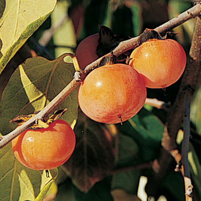 Persimmon Tree Early Golden Fruit