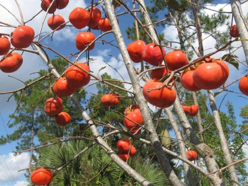 Persimmon Tree Fire Crystal Fruit