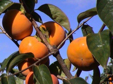 Persimmon Tree Sweet Fuyu Fruit