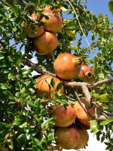 Pomegranate (Haku-Botan)