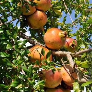 Fruiting Shrubs