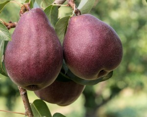 Red Bartlett pears on the tree