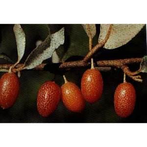 Silverberry-Golden