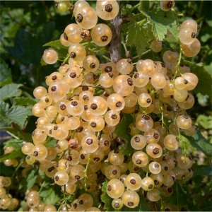 White Currant (White Pearl)