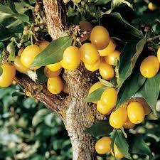 Yellow Cornelian Cherry
