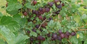 black velvet-gooseberry