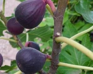 fig Tree- Petite Negra