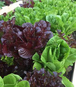 Romaine Leaf Lettuce