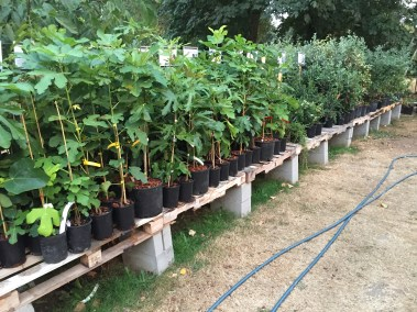 Fig Trees in Nursery