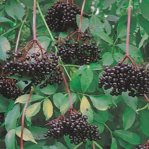 Elderberry John's