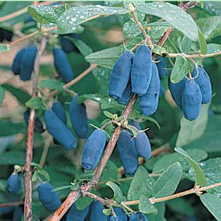 Honeyberry Blue Forest