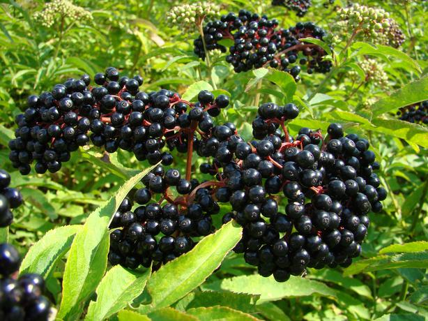 Elderberry York