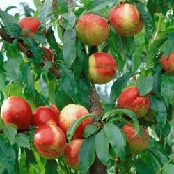 Hardired Nectarine Tree and Fruit