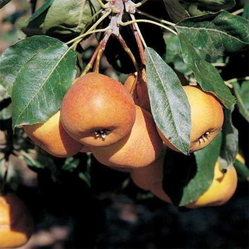 shipova Mt. Ash Hybrid fruit and tree