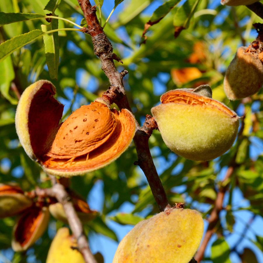 Almond Tree Hall S Hardy Restoring Eden